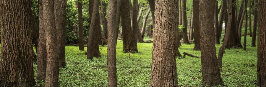 Green Trees in Crosby Farm Park