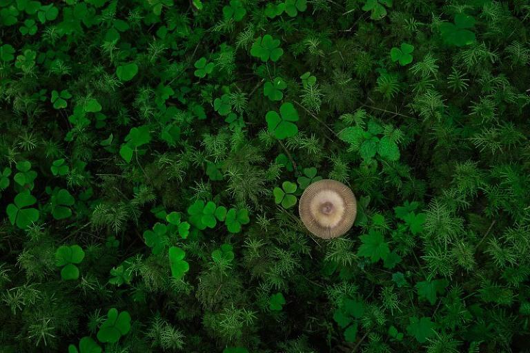 Mushroom and green clover in Hoh Rainforest
